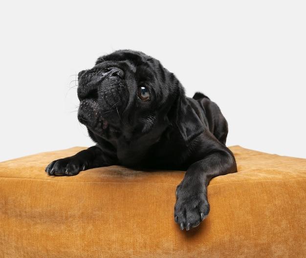 Pug dog metgezel geïsoleerd op een witte muur