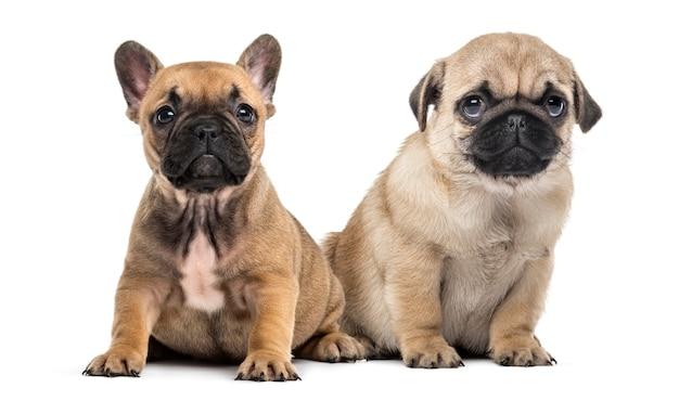 Pug en bulldog puppies naast elkaar, geïsoleerd op wit