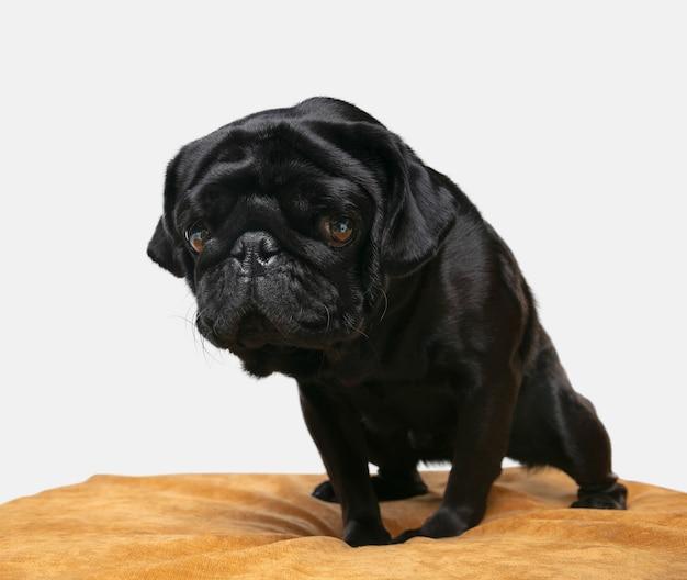 Pug hond geïsoleerd op beige stoel