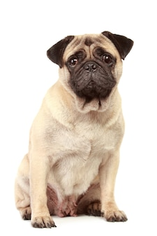 Pug hond geïsoleerd