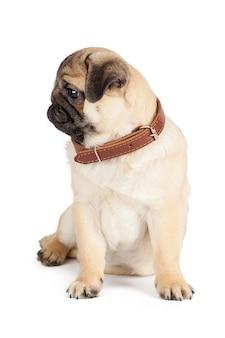Pug hond op een wit wordt geïsoleerd dat