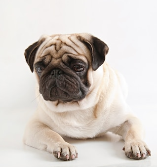 Pug hond op een witte achtergrond wordt geïsoleerd die