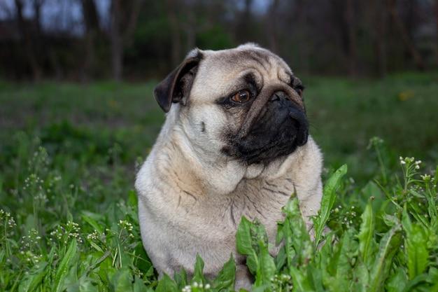 Pug hond op het groene gras
