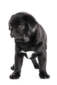 Pug hond op wit wordt geïsoleerd dat