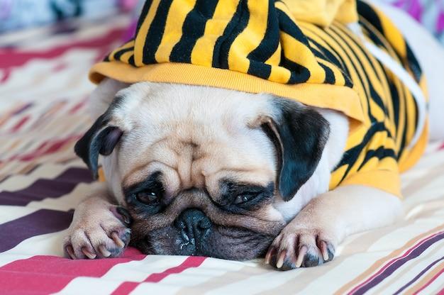 Pug hond ziek en verdrietig slaap rust op bed en op zoek naar iets