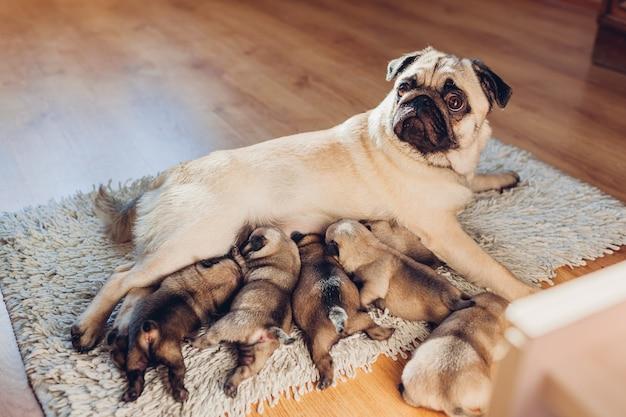Pug hondmoeder die zes puppy thuis voedt. hond liggend op tapijt met kinderen. familie tijd