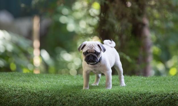 Pug puppy op het gazon