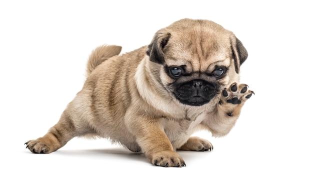 Pug puppy spelen, geïsoleerd op wit