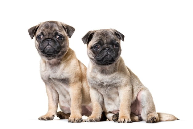 Pug puppy zittend tegen een witte achtergrond