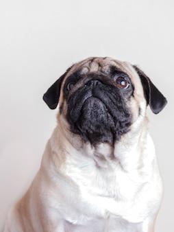 Pug van de hond close-up met droevige bruine ogen die omhoog eruit zien. portret op witte achtergrond