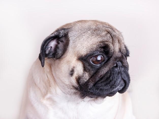 Pug van de hond close-up met droevige bruine ogen. portret op witte achtergrond