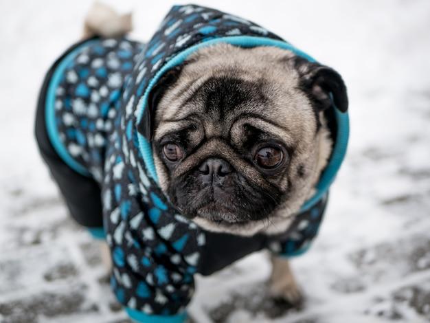 Pug van het hondenras in jasje