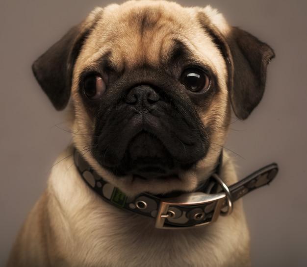 Pug van het puppy