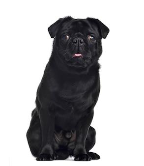 Pug, zitten en onder ogen zien, geïsoleerd op wit