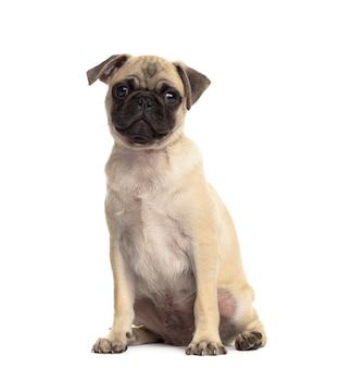 Pug zittend, geïsoleerd op wit