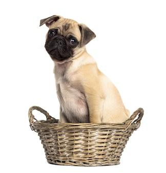 Pug zittend in een rieten mand, geïsoleerd op wit
