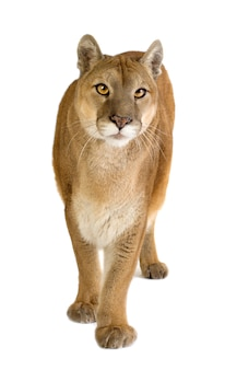 Puma (17 jaar) - puma concolor geïsoleerd