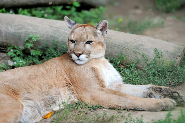 Puma face in het wild