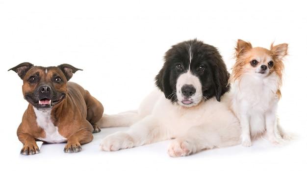 Pup landseer, chihuahua en staffie