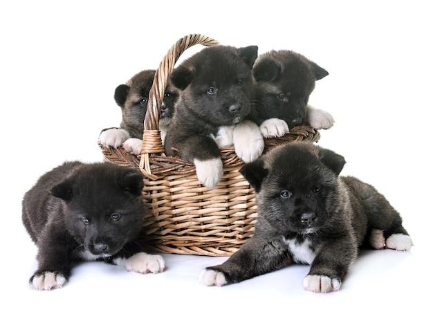 Puppies amerikaanse akita