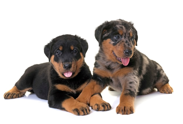 Puppies beauceron in de studio
