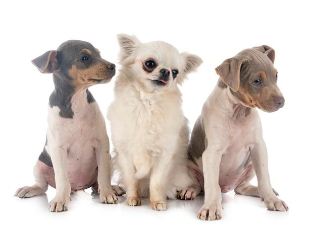 Puppies braziliaanse terriër en chihuahua