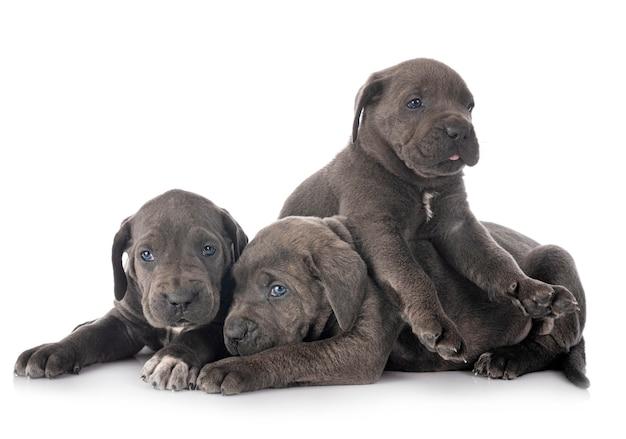 Puppies cane corso geïsoleerd op een witte achtergrond
