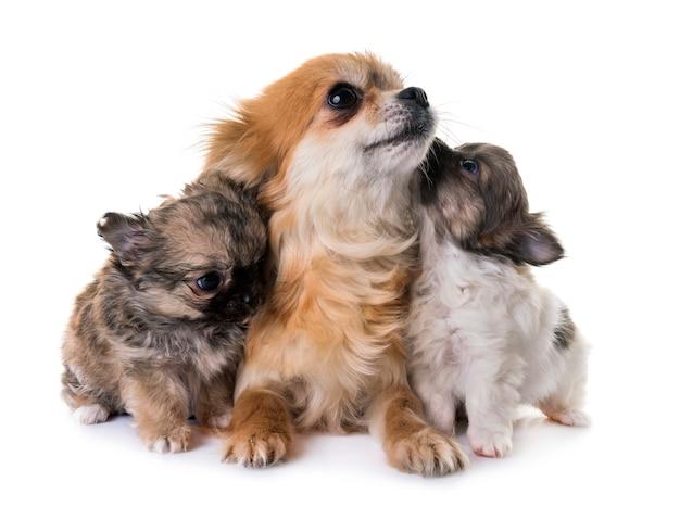 Puppies chihuahua en moeder