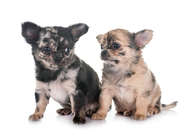 Puppies chihuahua voor witte achtergrond