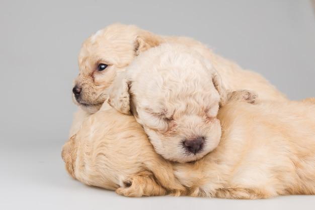 Puppies die bovenop elkaar op grijze achtergrond slapen