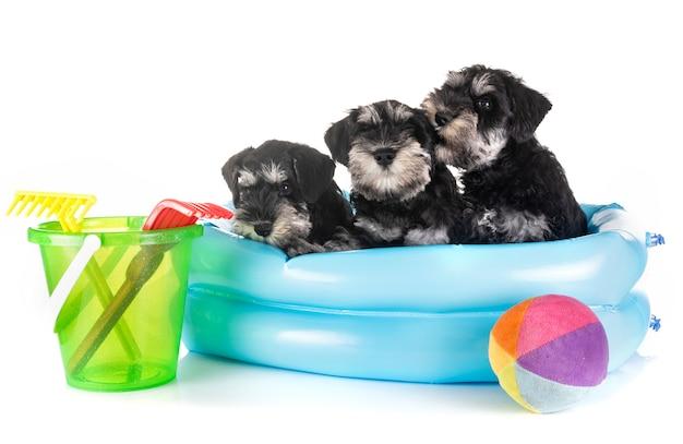 Puppies dwergschnauzer