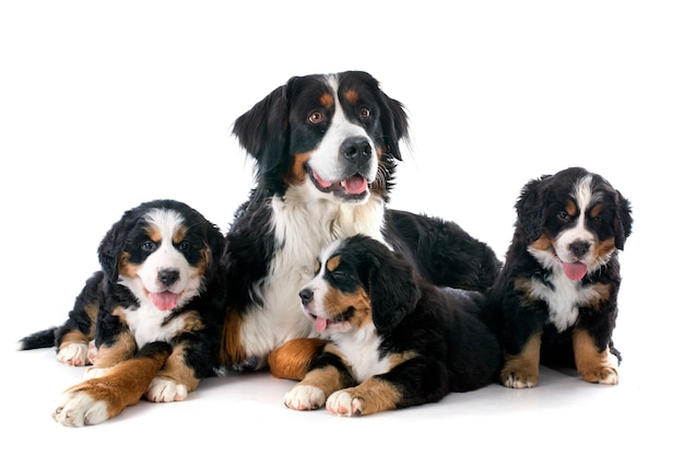 Puppies en volwassene bernese moutain hond