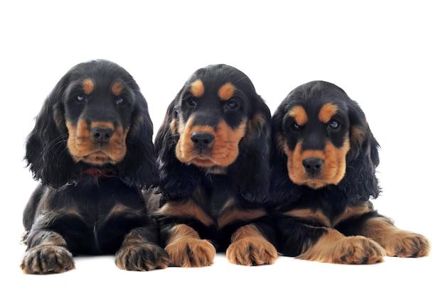 Puppies engelse cocker