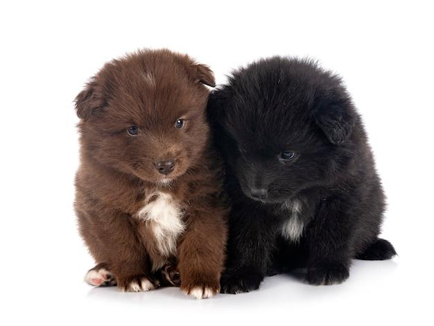 Puppies finse lappenhond voor witte muur