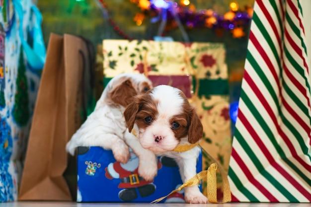 Puppies, kleine honden cavalier king charles spaniel voor kerstmis bij een kerstboom, briefkaart.