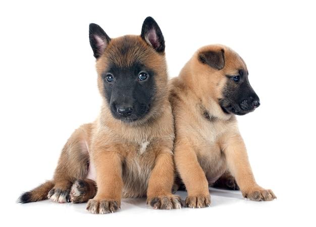 Puppies mechelaar