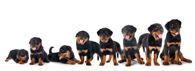 Puppies rottweiler, drie weken tot drie maanden voor witte achtergrond