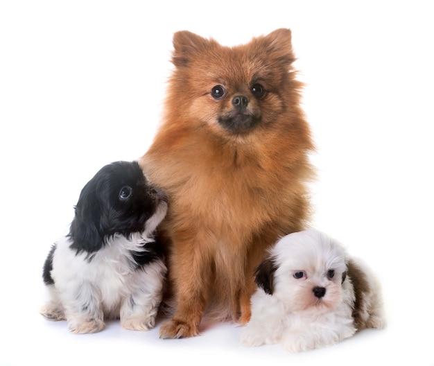 Puppies shih tzu en spitz