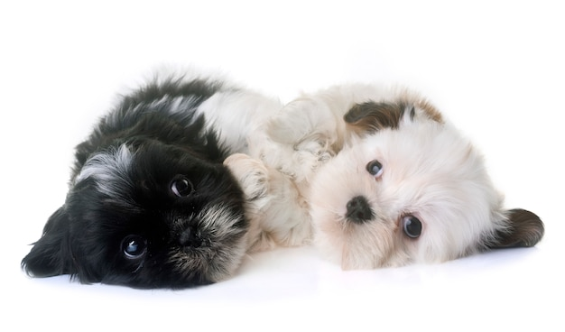 Puppies shih tzu in de studio