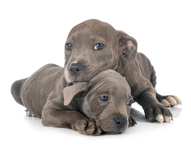 Puppies staffordshire bull terrier