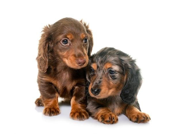 Puppies teckel