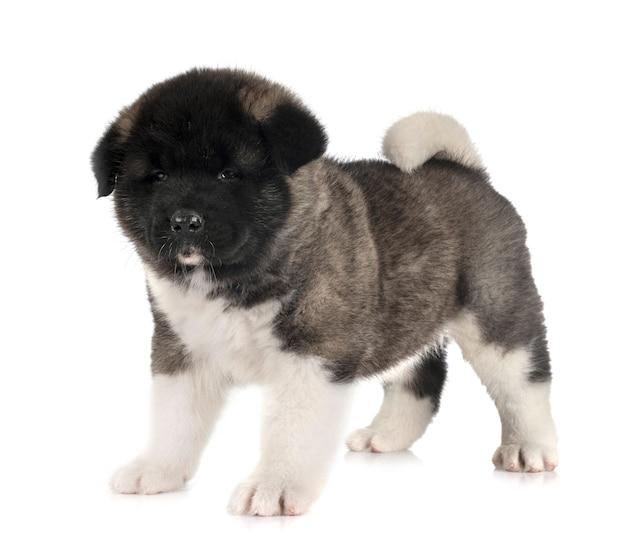 Puppy amerikaanse akita op wit