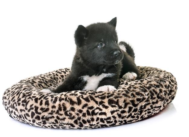 Puppy amerikaanse akita