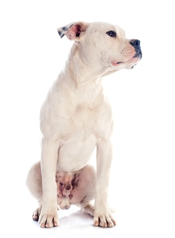 Puppy amerikaanse buldog
