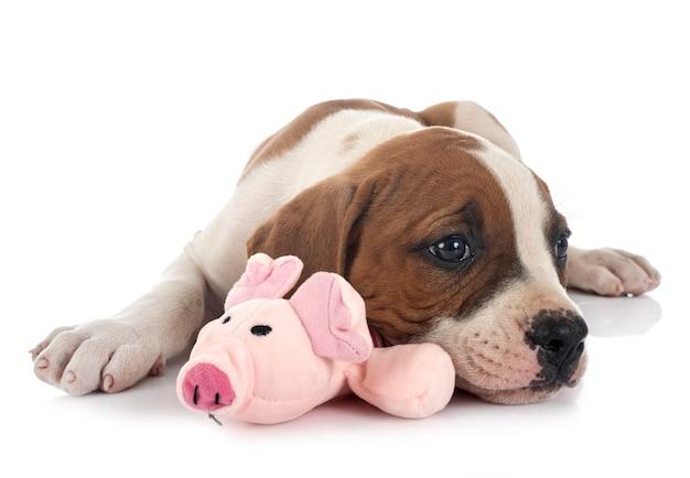 Puppy amerikaanse bulldog