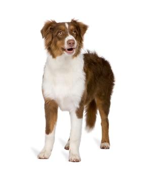 Puppy australische herder met 5 maanden.