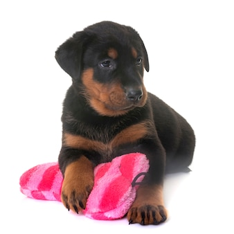 Puppy beauceron in de studio