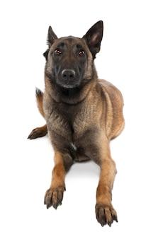 Puppy belgian tervuren met 5 jaar oud. geïsoleerd hondportret