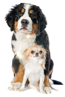 Puppy berner en chihuahua op wit