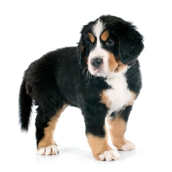 Puppy bernese moutain hond